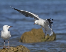 Silver Gull (Image ID 44994)