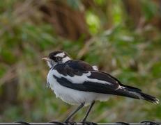 Magpie-lark (Image ID 45001)