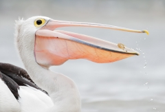 Australian Pelican (Image ID 44925)