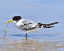 Greater Crested Tern (Image ID 45017)