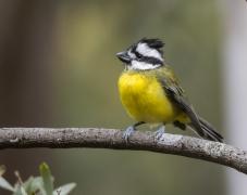 Eastern Shrike-tit (Image ID 44993)