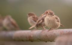 House Sparrow (Image ID 45381)