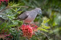 Peaceful Dove (Image ID 45059)