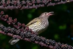 Australasian Figbird (Image ID 45057)