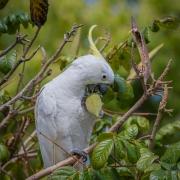 Sulphur-crested Cockatoo (Image ID 45448)