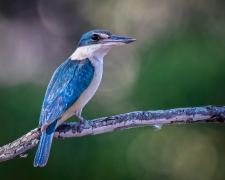 Sacred Kingfisher (Image ID 45203)