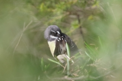 Grey Fantail (Image ID 45485)