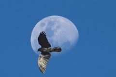 Australian Raven (Image ID 45466)
