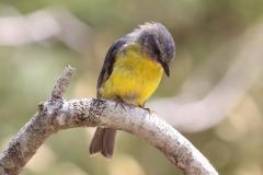 Eastern Yellow Robin (Image ID 45260)
