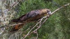 Glossy Black-Cockatoo (Image ID 45771)
