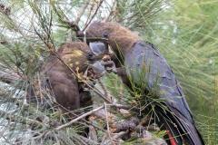 Glossy Black-Cockatoo (Image ID 45769)