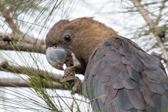Glossy Black-Cockatoo (Image ID 45768)