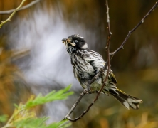New Holland Honeyeater (Image ID 45617)