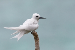 White Tern (Image ID 45716)