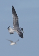 Greater Crested Tern (Image ID 45780)