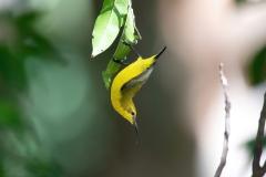 Olive-backed Sunbird (Image ID 45774)