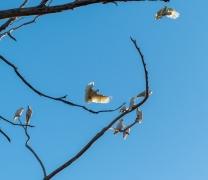 Sulphur-crested Cockatoo (Image ID 46508)
