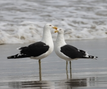 Kelp Gull (Image ID 46123)
