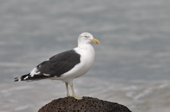 Kelp Gull (Image ID 46124)