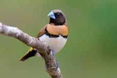 Chestnut-breasted Mannikin (Image ID 46516)