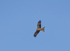 Black Kite (Image ID 46129)