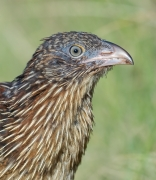 Pheasant Coucal (Image ID 46139)