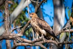 Whistling Kite (Image ID 46117)