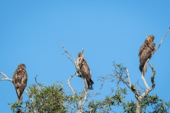 Whistling Kite (Image ID 46119)