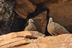 Chestnut-quilled Rock-Pigeon (Image ID 46799)