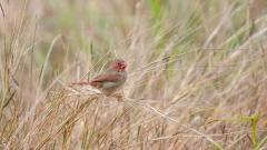 Black-bellied Crimson Finch (Image ID 46872)