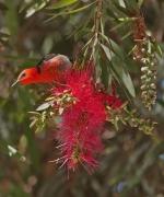 Scarlet Honeyeater (Image ID 46845)