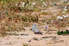 Diamond Dove (Image ID 46876)