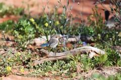 Splendid Fairy-wren (Image ID 46874)