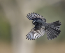 Willie Wagtail (Image ID 46774)