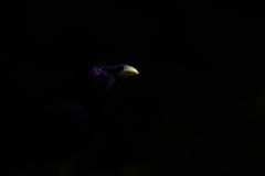 Satin Bowerbird (Image ID 46558)