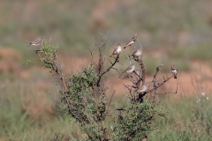 Zebra Finch (Image ID 46805)