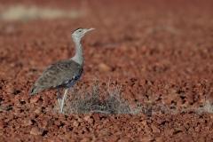Australian Bustard (Image ID 46803)