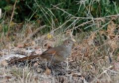Rufous Bristlebird (Image ID 46802)