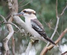 Laughing Kookaburra (Image ID 46798)
