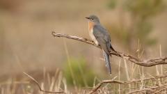 Fan-tailed Cuckoo (Image ID 46833)