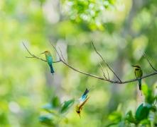 Rainbow Bee-eater (Image ID 46877)