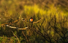 Red-capped Robin (Image ID 46875)