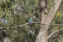 Sacred Kingfisher (Image ID 46812)