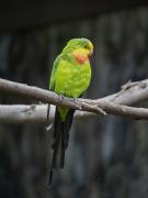 Superb Parrot (Image ID 46793)