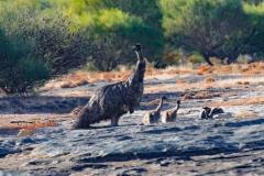 Emu (Image ID 46750)