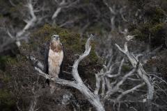 White-bellied Sea-Eagle (Image ID 46751)