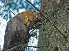Glossy Black-Cockatoo (Image ID 46835)