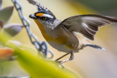 Striated Pardalote (Image ID 46789)