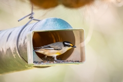 Striated Pardalote (Image ID 46787)