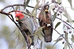 Gang-gang Cockatoo (Image ID 46745)